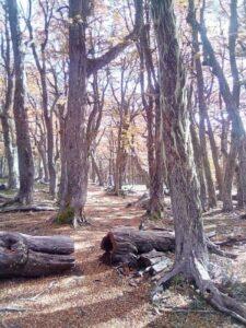 Una vuelta por el Bosque de Lengas (Nothofagus pumilio), Bosque andino-patagónico. Área Natural Protegida Río Azul-Lago escondido, El Bolsón, Río Negro. Usuhaia, paseos por caminos